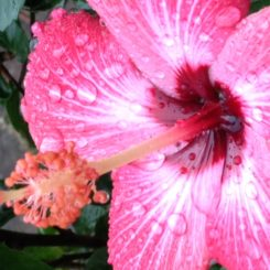 A Hibiscus and Grief